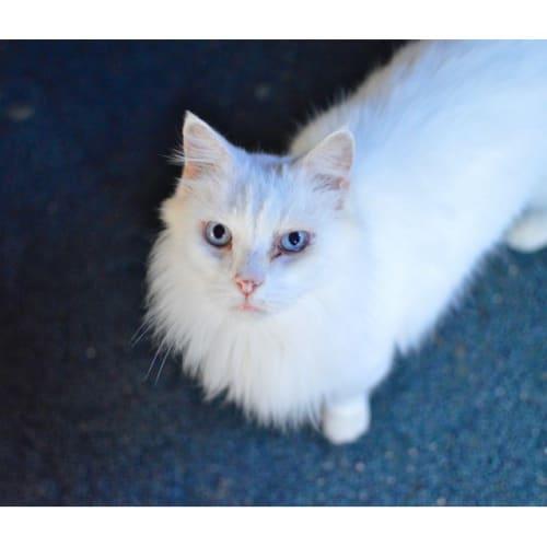 Kimba  - Domestic Long Hair Cat