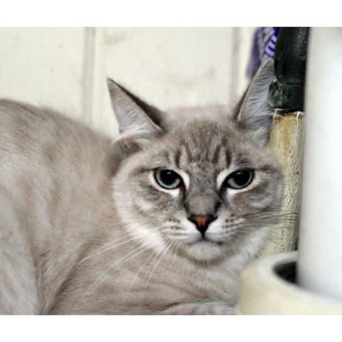 Lincoln  - Ragdoll Cat