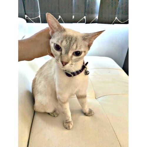 Kai - Siamese Cat