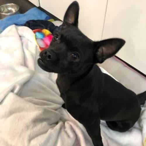 Banshee   939028 - Pug x Terrier Dog
