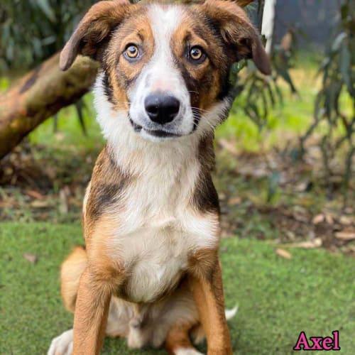 Axel - Border Collie Dog