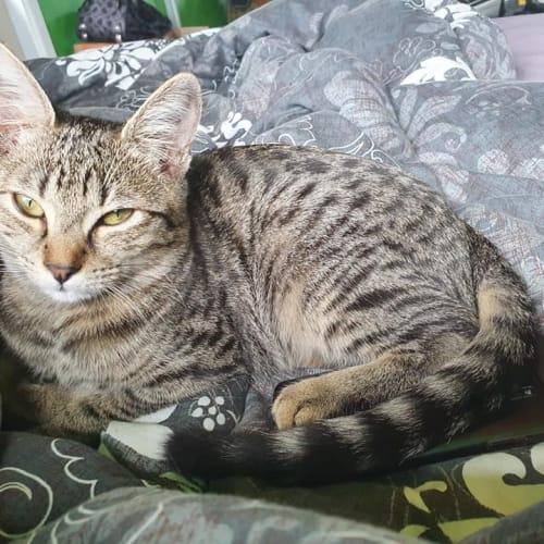 Disney - Domestic Short Hair Cat