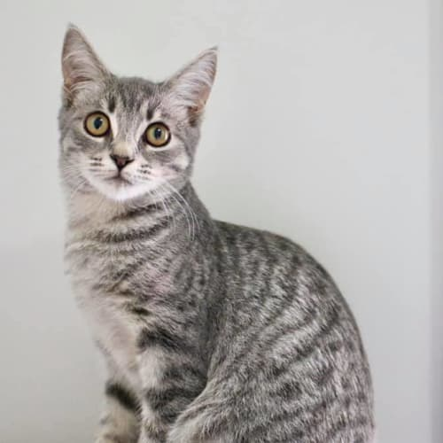 Ariana ~ 4 month old kitten - Domestic Short Hair Cat