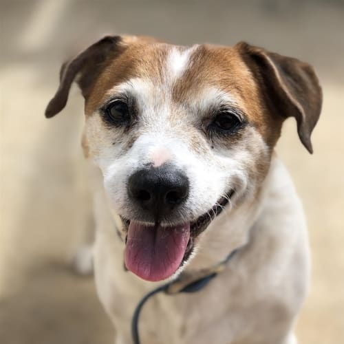Thomas - Jack Russell Terrier Dog