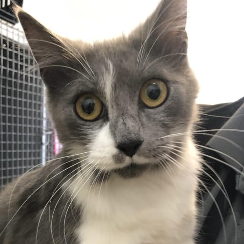 Kerry - Domestic Medium Hair Cat