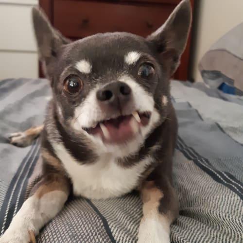Benny - Chihuahua Dog