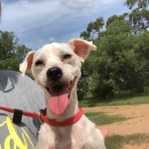 Casper - Maltese Dog