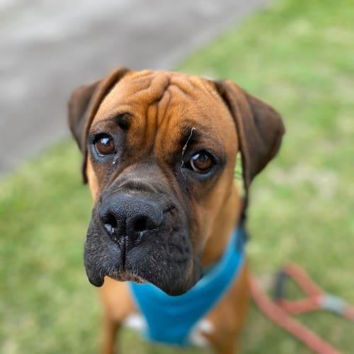 Lola - Boxer Dog