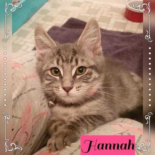 Hannah - Domestic Short Hair Cat