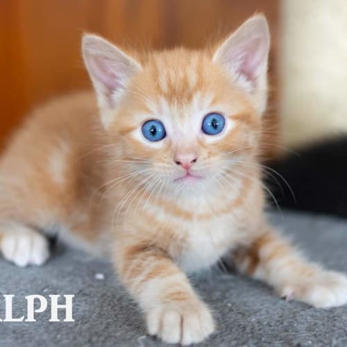 Ralph - Domestic Short Hair Cat