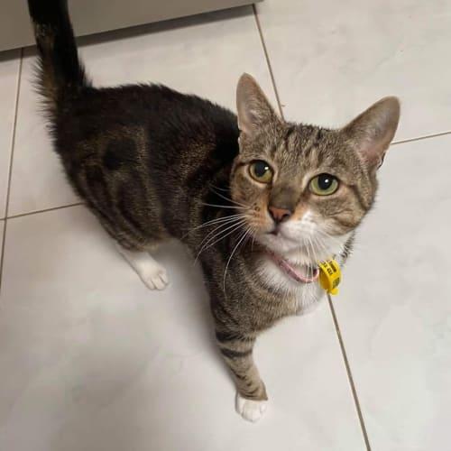 Priscilla - Domestic Short Hair Cat