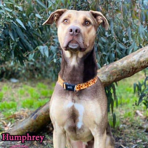 Humphrey - Huntaway Dog