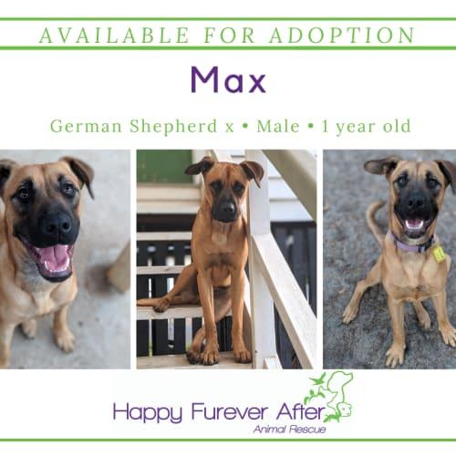 Max - German Shepherd Dog
