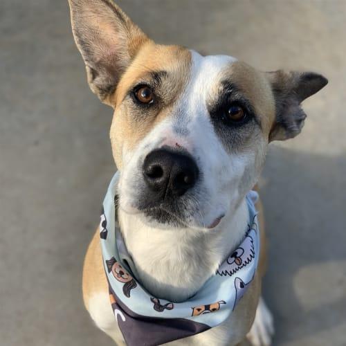 Stella - Kelpie X Dog