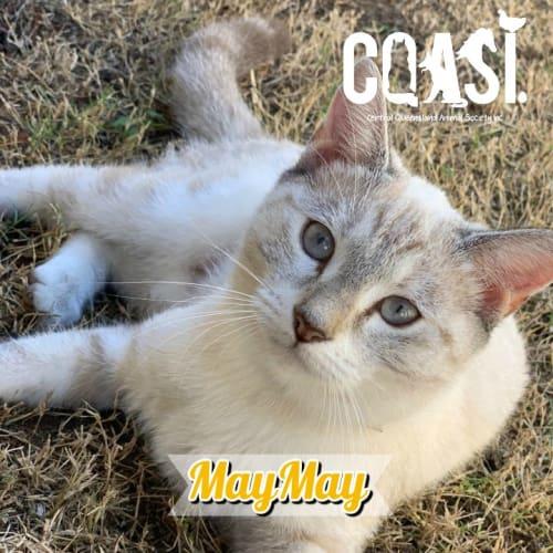 MayMay - Siamese Cat
