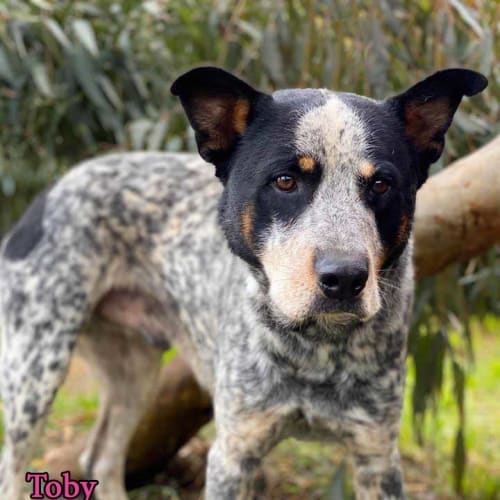 Toby - Australian Cattle Dog