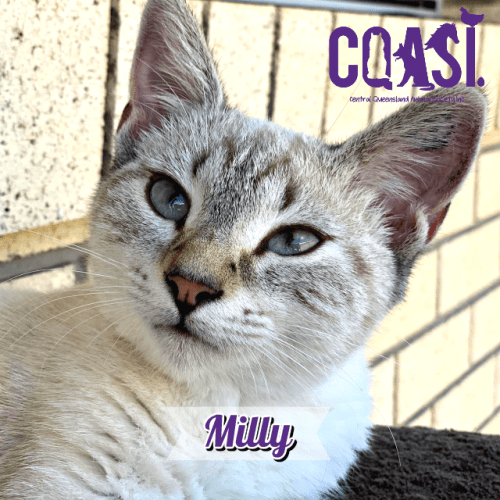 Milly  - Siamese Cat