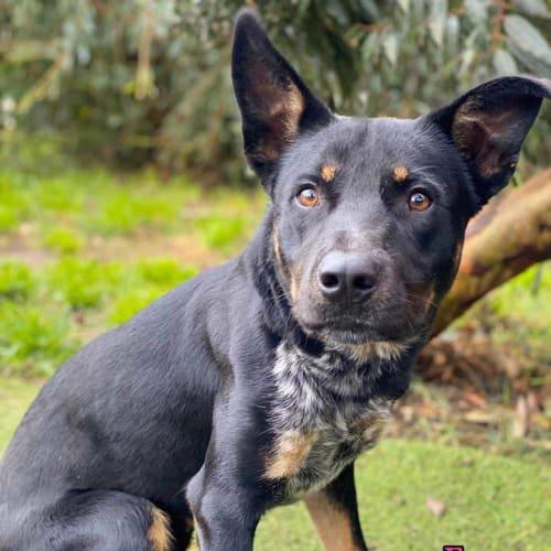Fergus - Kelpie Dog