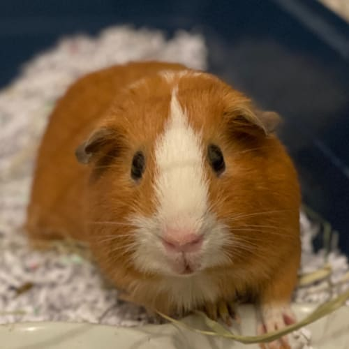 Tank ~ Desexed ~ Available 15/04/2020 - Smooth Hair Guinea Pig