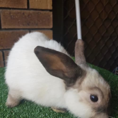 Ferrero - Bunny Rabbit