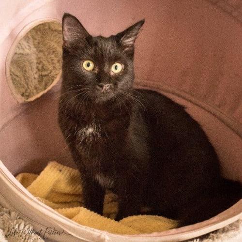 Eden - Domestic Medium Hair Cat