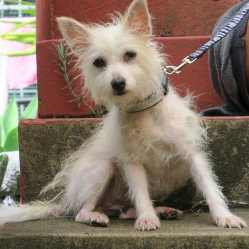 Minnie - West Highland White Terrier Dog