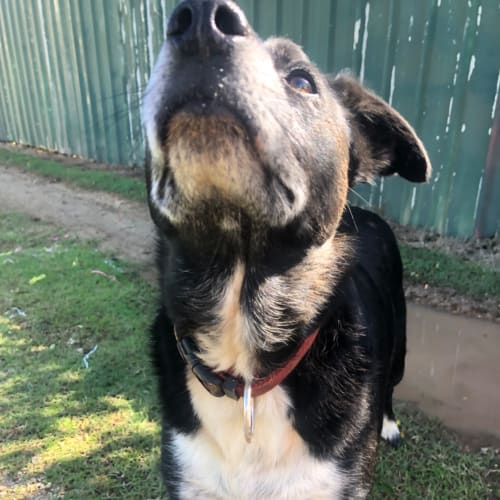 Trixie - Border Collie Dog