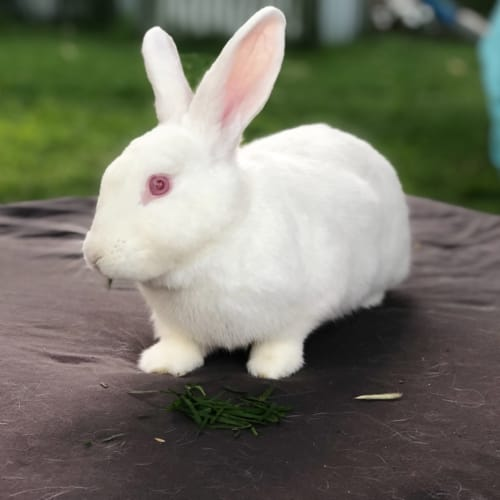 Lawson  - Flemish Giant Rabbit