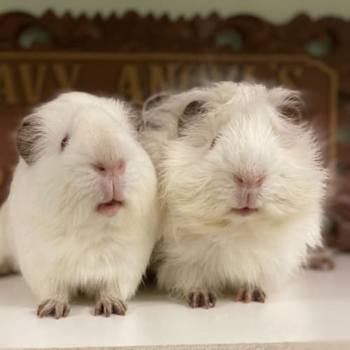 Snow and Cotton  - Abyssinian x Smooth Hair Guinea Pig