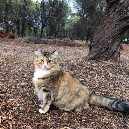 AC1122 - Raffikki - Domestic Medium Hair Cat