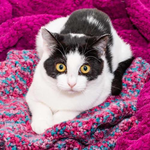 2555 - Tink - Domestic Short Hair Cat
