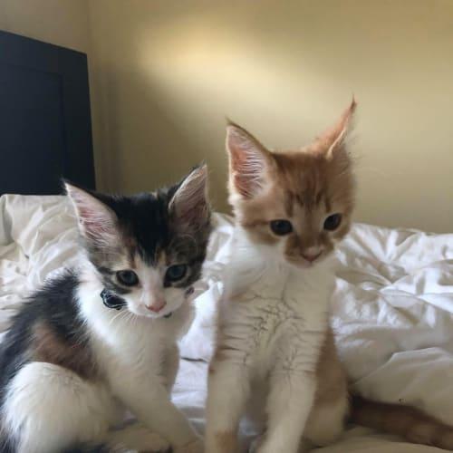 Almond and Cashew - Domestic Medium Hair Cat