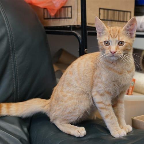 Mr Orange - Domestic Short Hair Cat