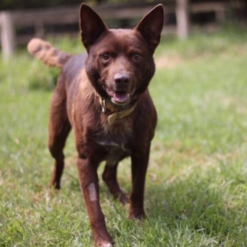 Rusty - Kelpie x Australian Cattle Dog