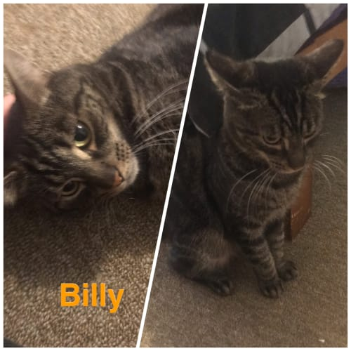 Billy - Domestic Short Hair Cat