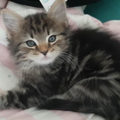Catkin - Domestic Medium Hair Cat