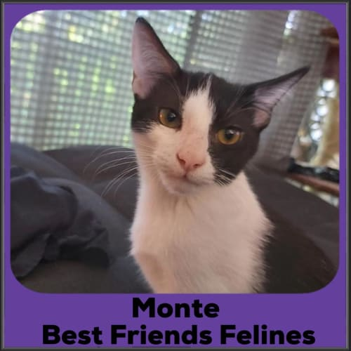 Monte  - Domestic Short Hair Cat