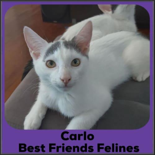 Carlo  - Domestic Short Hair Cat