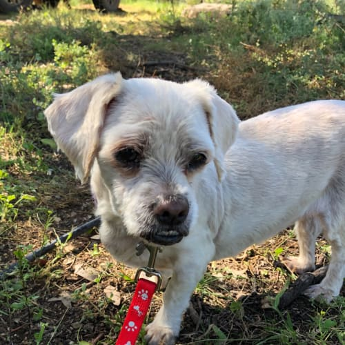 Bella - Maltese x Tibetan Spaniel Dog