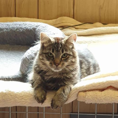 Fluffy Murphy - Domestic Medium Hair Cat