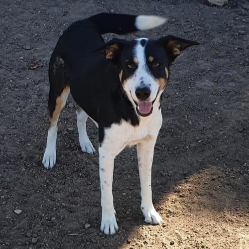Harper - Border Collie x Kelpie Dog