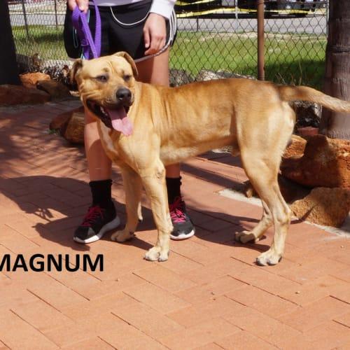 Magnum - Rottweiler x Mastiff Dog