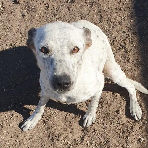 Pia - Australian Cattle Dog x Fox Terrier Dog