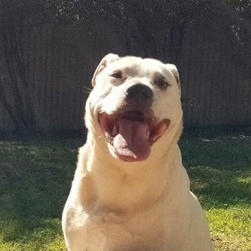 Spot - Staffordshire Bull Terrier X Dog