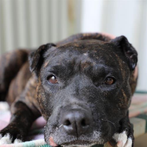 Shady - Staffordshire Bull Terrier X Dog