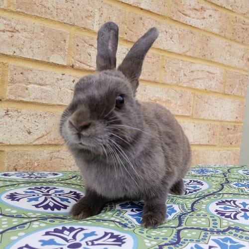 Armanii - Netherland Dwarf Rabbit
