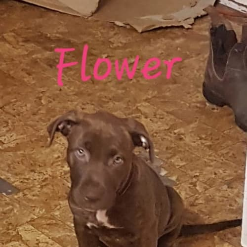 Flower - American Staffordshire Terrier Dog
