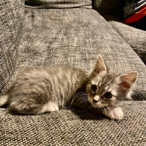 Mumma's Boy  - Domestic Medium Hair Cat