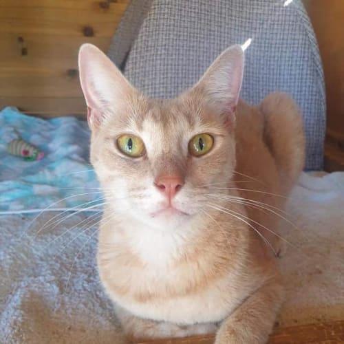 Peaches - Domestic Short Hair Cat