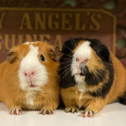 Bill and Ben  - Smooth Hair Guinea Pig